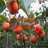2017新品种柿子苗供应商