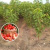 1公分矮化樱桃苗价格 早大果樱桃苗 吉塞拉樱桃树苗