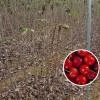 2公分定植樱桃苗价格 批发樱桃苗基地 吉塞拉5樱桃树苗