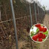 吉塞拉7号樱桃苗品种 大樱桃树苗价格 3公分樱桃苗