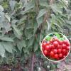 1到5公分樱桃苗品种 山东基地直销矮化樱桃苗 红灯樱桃苗