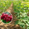 2017年樱桃苗价格,6月中旬成熟樱桃苗品种有哪些