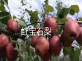 哪里有全红梨树苗