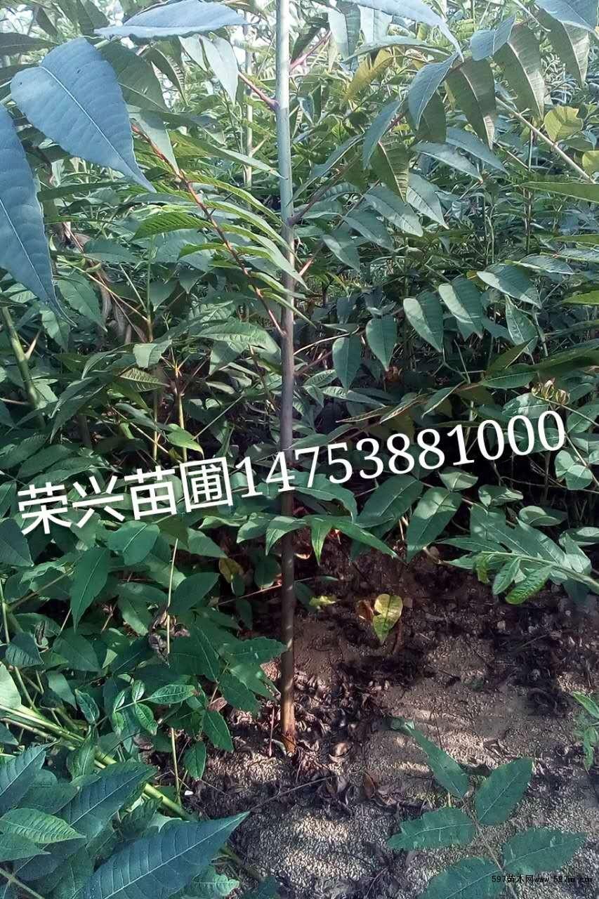 大棚香椿的栽培 1.整地施肥 在香椿栽植之前,先要施足底肥,一般每亩施优质农家肥5000—7000kg,草木灰40kg或硫酸钾25kg,及过磷酸钙20kg,然后深翻细耙,做成1.0—1.2m宽畦。 2.栽植 香椿苗木一般在初霜到来之前,开始落叶挖掘。但香椿落叶后就进入休眠,因此在栽入大棚之前必须用人工方法解除休眠。解除休眠的方法可在11月上旬挖苗分级移栽,浇透水后先不盖棚膜,等20天后苗木休眠后,再盖棚膜生产。 栽植方法:在每畦内按行距20cm开南北深沟,然后当年生单干苗木按3&m