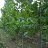 批发13公分、14公分、15公分法桐树批发价格