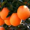 【纽荷尔脐橙产量】 纽荷尔脐橙苗价格 纽荷尔脐橙苗出售