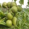 清香核桃苗种植基地当季热销