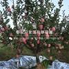烟富8号苹果苗、烟富8号苹果树苗、烟富8号苹果树树苗价格