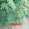 大红袍花椒苗2年苗多少钱 1公分花椒苗价格