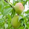 1公分桃树苗哪里有 中华福桃桃树苗结果时间