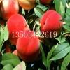 当年嫁接早熟桃树苗批发价格==供应基地=果树苗
