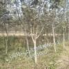 山东那里的5公分核桃树便宜 核桃树占地直销 价格低