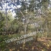 泰安4公分以上核桃树价格  那里的占地核桃树便宜
