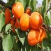红荷苞杏树苗价格 红丰杏树苗农户直销
