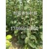 山西1米品种梨树苗价格=1米玉露香梨树苗价格/梨树苗苗木价格