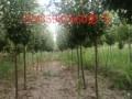 5公分李子树图片