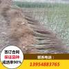 无籽石榴苗品种 无籽石榴苗价格