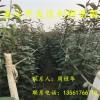 早红考密斯梨树苗;早红考密斯梨树苗价格多少