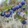 蓝莓苗种植 蓝莓苗种植技术 蓝莓树苗种植