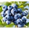 蓝莓苗出售 蓝莓苗供应 供应蓝莓苗