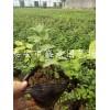 蓝莓苗木 蓝莓苗木批发 蓝莓苗木基地
