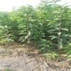 高产  易成活樱桃苗价格  品种纯正福星樱桃苗价格