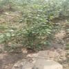 优质北高丛蓝莓苗价格  北高丛蓝莓苗品种 杜克