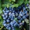 3年蓝莓苗多少钱一棵3年蓝莓苗多少钱一根3年蓝莓苗多少钱一株