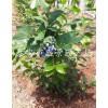 今年蓝莓苗多少钱一棵 今年蓝莓苗价格是多少