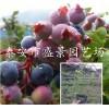 蓝莓苗5年的多少钱一棵 5年蓝莓苗多少钱一棵