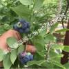 蓝莓苗哪里有 山东蓝莓苗基地