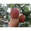 山东早酥红梨树苗,1公分早酥红梨树苗批发价格