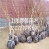 2017年极早熟桃树苗新品种、寿星桃盆景