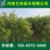 邹城出售桂花树/樱花种植基地15993720369