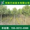 洛阳长期销售银杏/雪松价格表15993720369