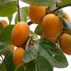 合柿柿子苗基地 磨盘柿柿子苗多少钱一棵