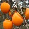 斤柿柿子苗种植 斤柿柿子苗成熟时间