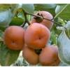 黑枣柿柿子苗基地 1公分柿子苗挂果时间