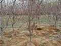 哪里有3公分杏树苗