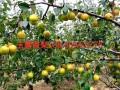 玉露香梨树苗产地