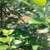 基地供应高丛蓝莓苗 兔眼蓝莓苗 杜克蓝莓苗