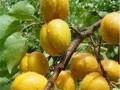 杏树优良品种