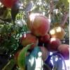 晚熟桃树苗汕头价格 晚熟桃树苗多少钱 哪里有桃树苗