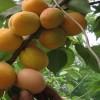 凯特杏树苗上市 凯特杏树苗产量如何
