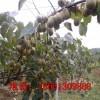 徐香猕猴桃苗种植技术 优质徐香猕猴桃苗育苗注意事项 量大从优