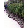 供应一米高红豆杉、2-3公分红豆杉|会埠张家进入亚博体育官网基地供应信息