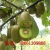 泰山一号猕猴桃苗什么时候种植好 山东猕猴桃苗优质高产成活率高