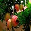 软籽石榴石榴苗品种 1公分石榴苗适应地区