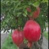 红如意石榴苗种植 蒙阳红石榴苗批发价格