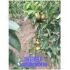 高产梨树苗批发供应